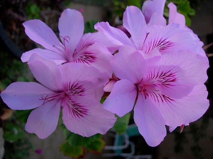 Azalea a fiori lilla