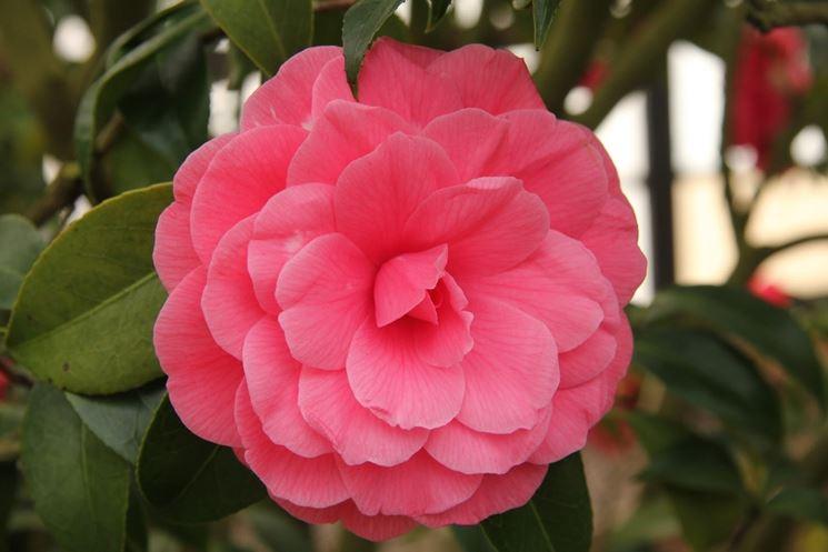 Fiore rosato di camelia