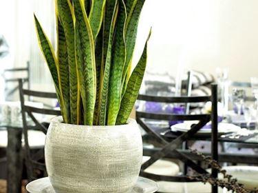 Pianta sempreverde da appartamento ornamentale