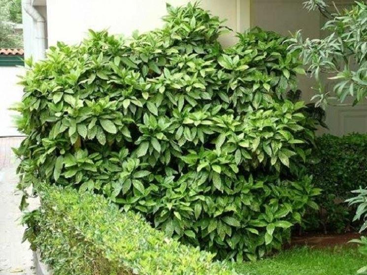 Piante sempreverdi con fiori piante da giardino piante - Piante alte da giardino ...