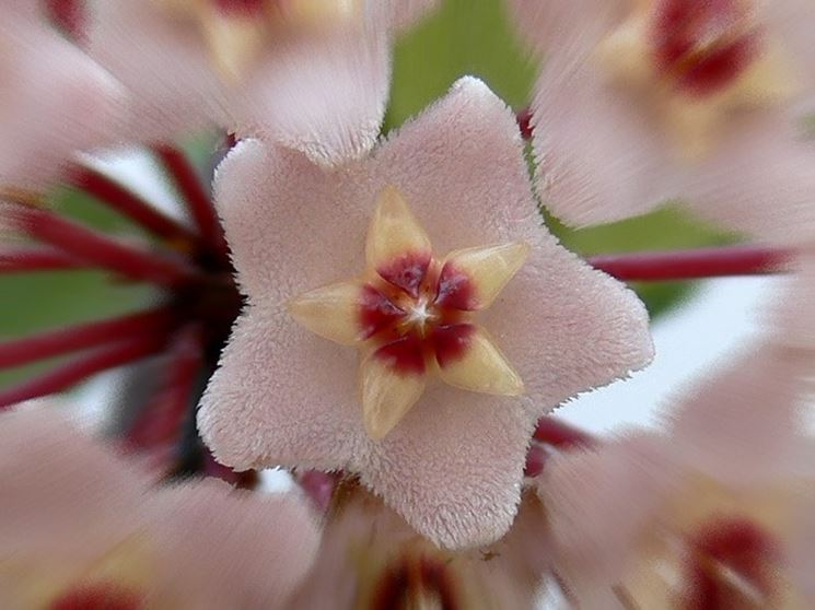 Piante sempreverdi con fiori piante da giardino piante for Pianta di cera