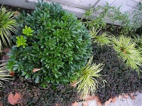 piante sempreverdi da giardino piante da giardino