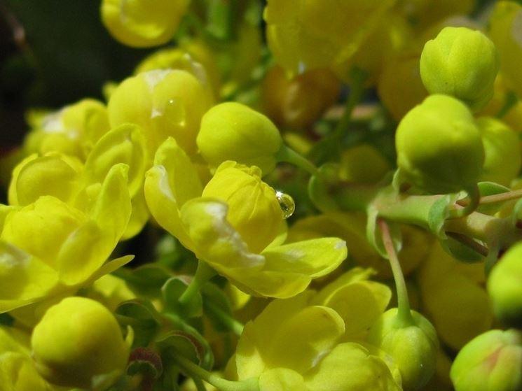 Una maholia aquifolium