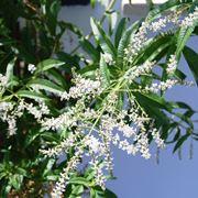 Fogliame e fiori di Lippia citriodora