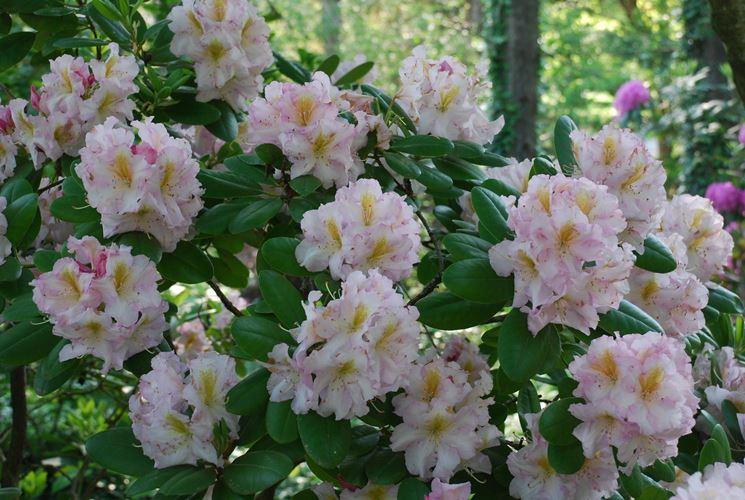 Infiorescenze e foglie di Rododendro