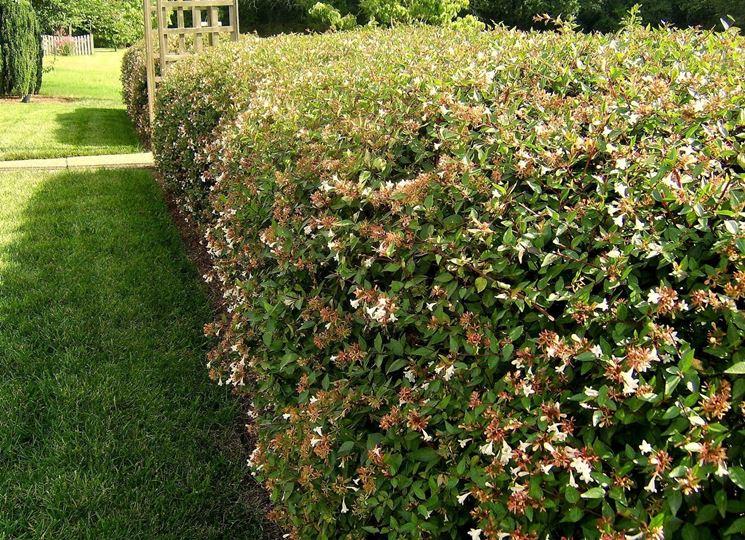 Siepe realizzata con gli arbusti di piracanta