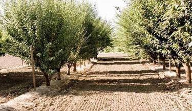 piante di pistacchio