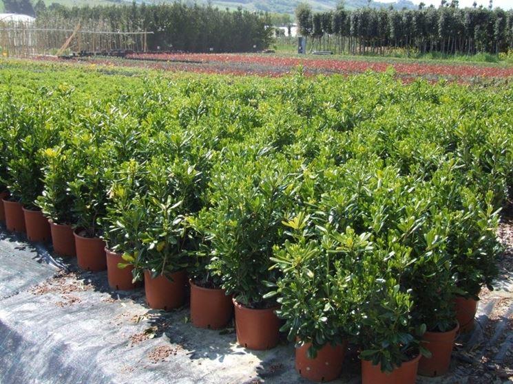 Pitosfori nani coltivati in vaso