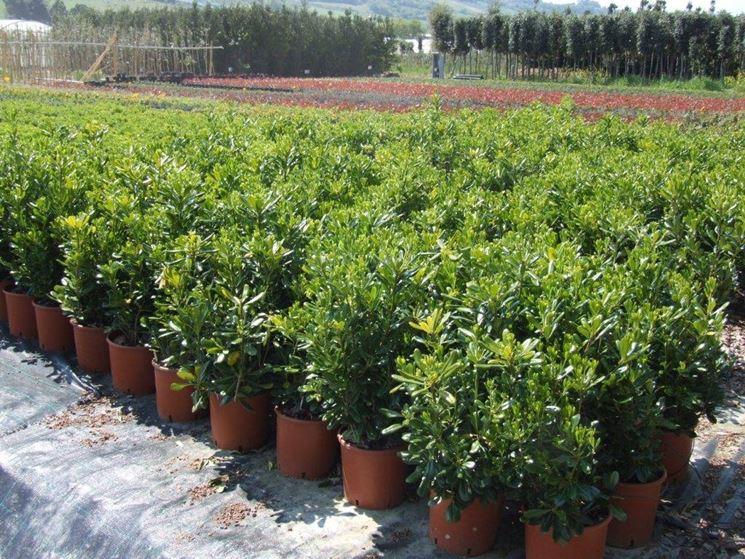 Pitosforo pianta piante da giardino caratteristiche for Piante verdi perenni da giardino