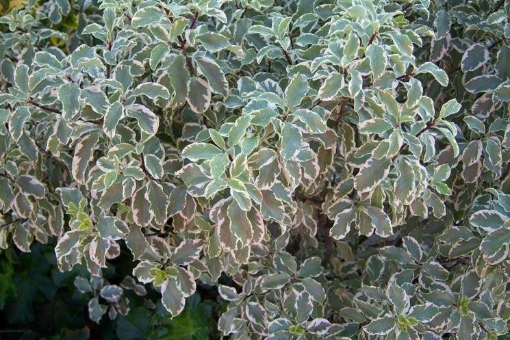 Un esempio di pitosforo tenuifolium variegato