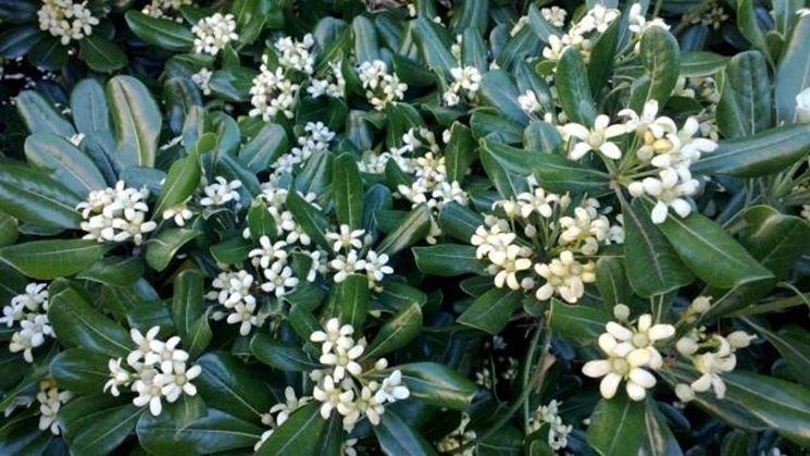 Pitosforo pianta piante da giardino caratteristiche - Albero sempreverde da giardino ...