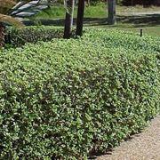 Pitosforo pianta piante da giardino caratteristiche della pianta di pitosforo - Piante mediterranee da giardino ...