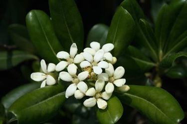 fiore del pitosforo