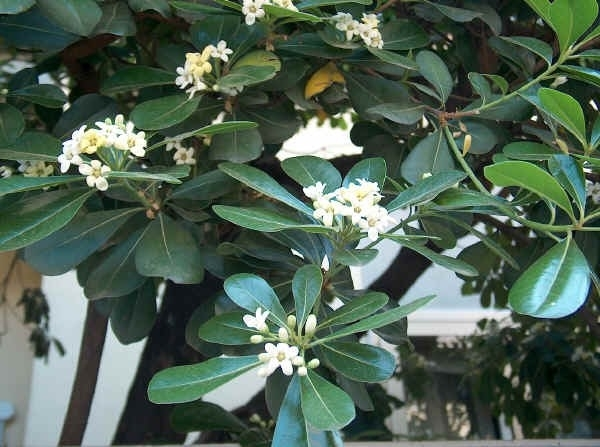 Pitosforo piante da giardino pitosforo per il giardino - Piante sempreverdi da giardino resistenti al freddo ...