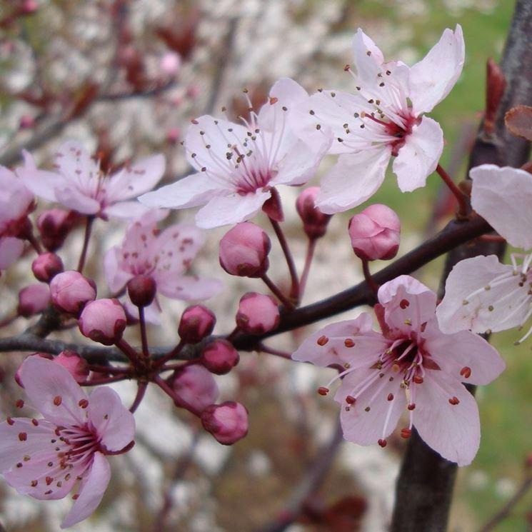 Fiori albero prunus