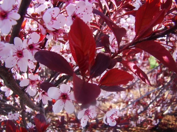 Albero pruno fiorito