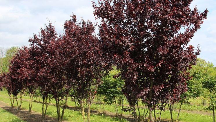 prunus piante da giardino coltivare prunus. Black Bedroom Furniture Sets. Home Design Ideas