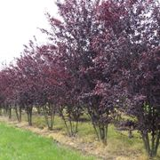 prunus rosso ornamentale