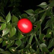 Bacca rossa di Pungitopo