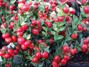 Bacche della pianta di Pungitopo