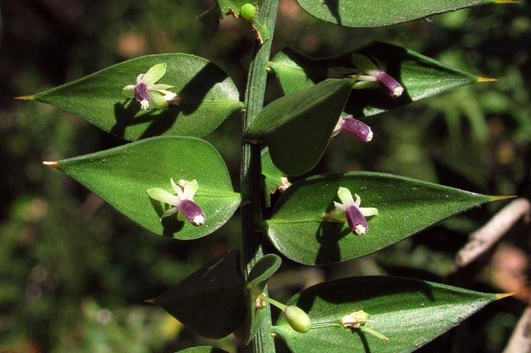 Fiori e foglie di Pungitopo