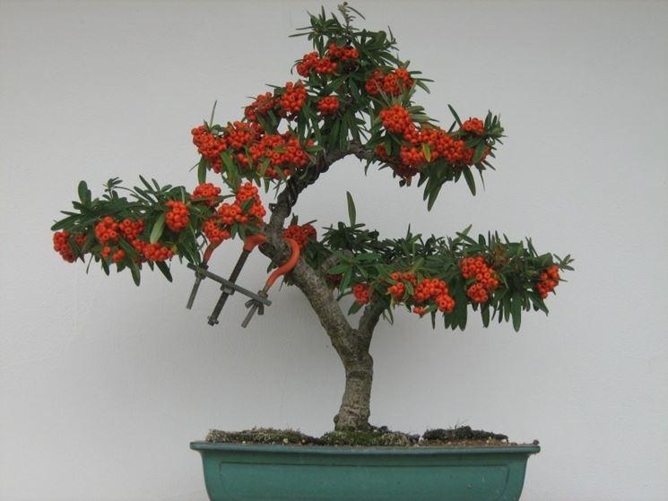 Un bonsai di pyracantha navaho