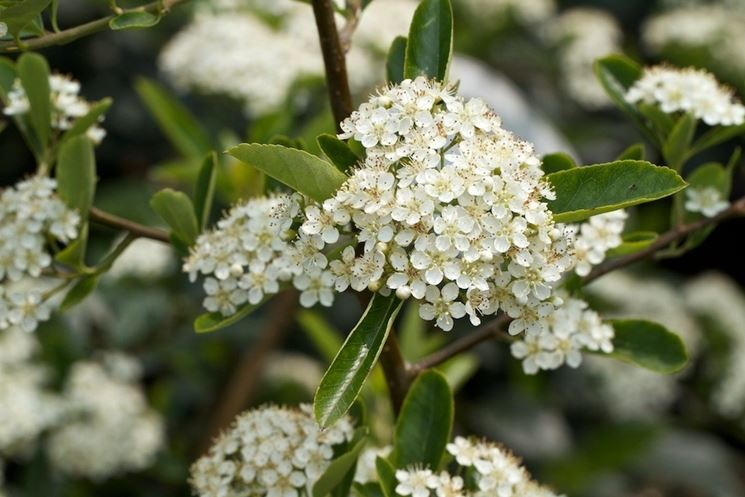 Infiorescenze riunite di Pyracantha