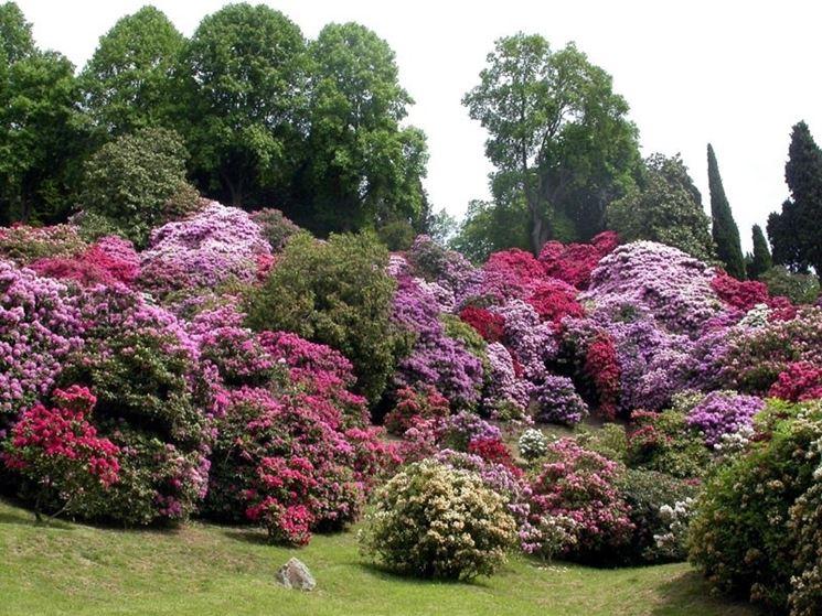 Cespugli di rododendro dai fiori di diverso colore