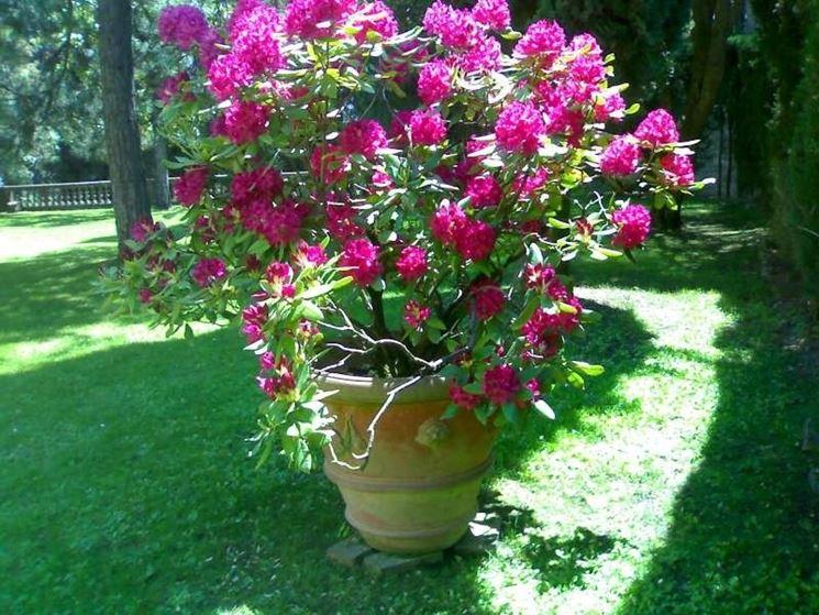 Un esemplare di rododendro coltivato in vaso