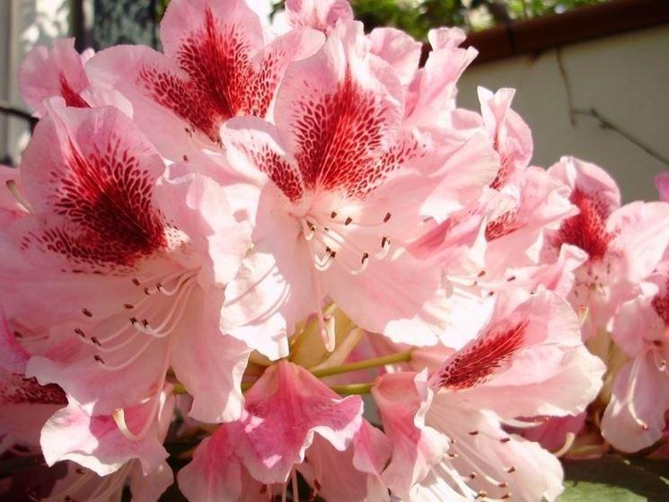 I bellissimi fiori di rododendro
