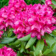 rododendro malattie