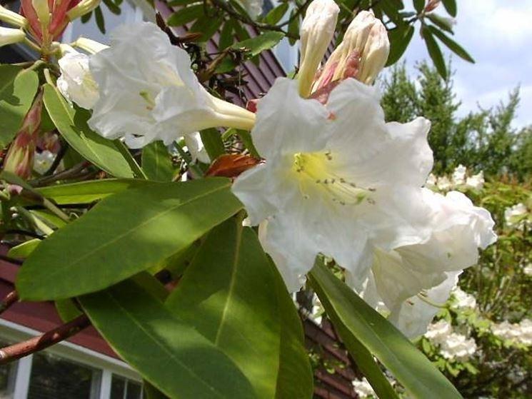 Il Rhododendron auriculatum