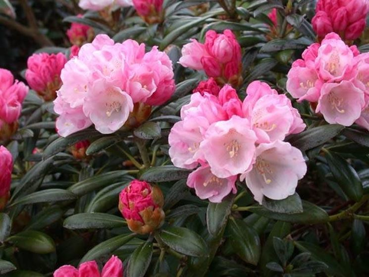 Rhododendron imperator