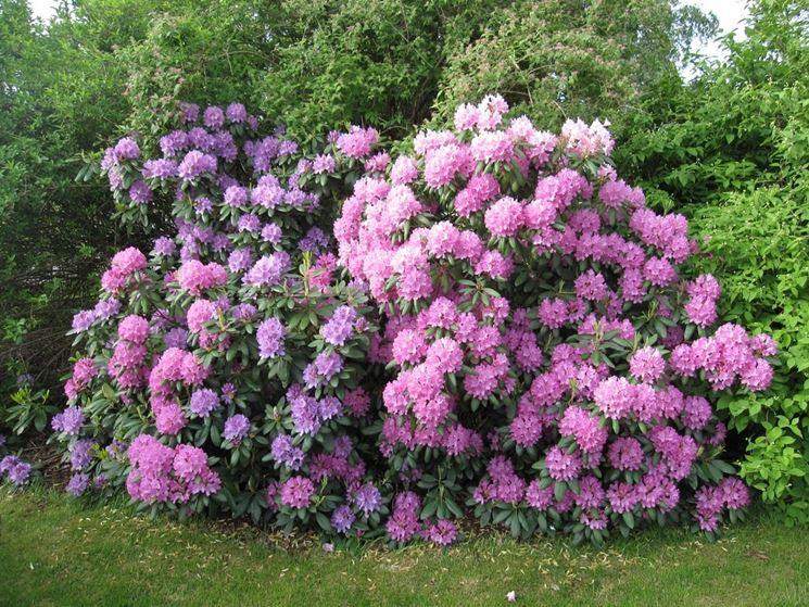 Rododendro piante da giardino come curare il rododendro for Rododendro pianta