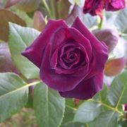 Fiore di Rosa Black Baccara