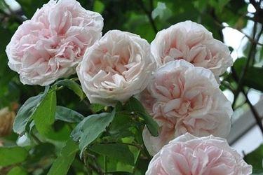 Fiori di Rose da giardino, varietà Bourbon