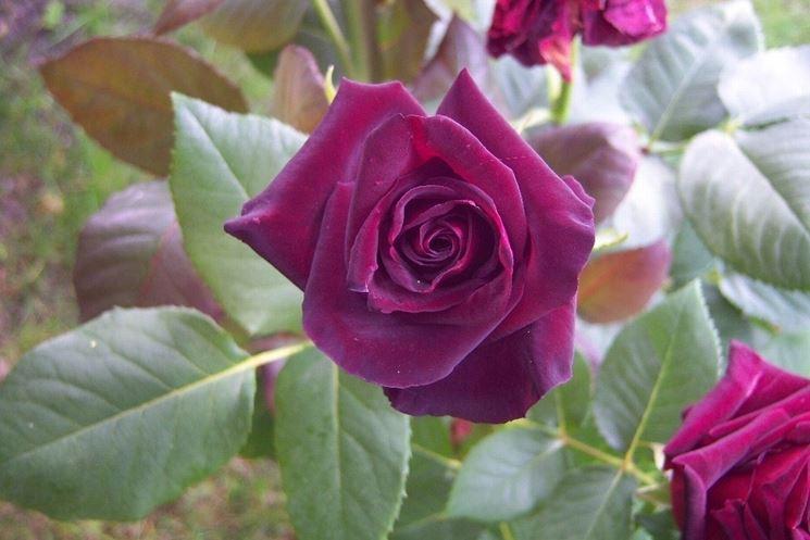 rose da giardino piante da giardino rose da giardino