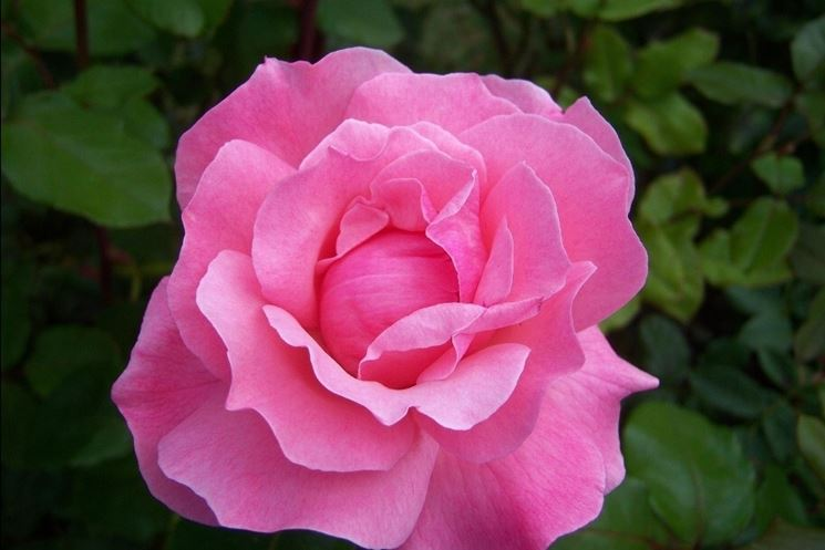 Fiore di Rosa, varietà Queen Elizabeth