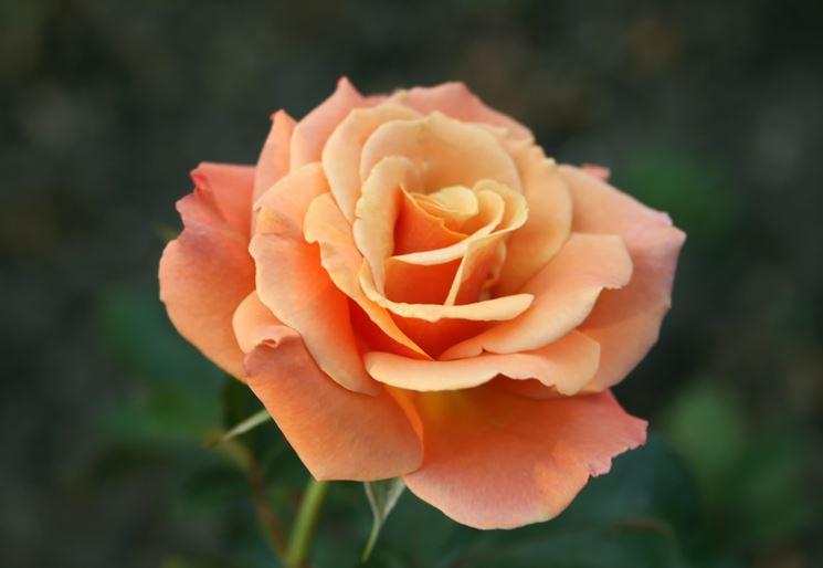 Varietà di Rosa Floribunda