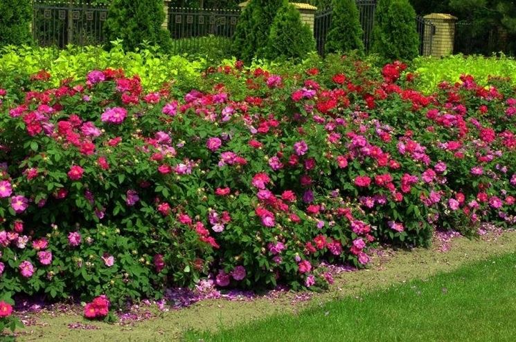 Cespugli di  rosa gallica officinalis