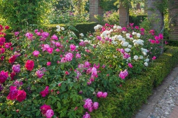 Siepi di rose inglesi all'interno di un giardino