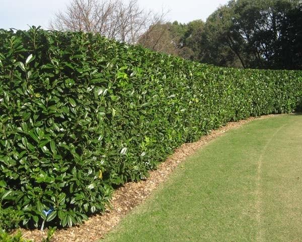 Siepe lauroceraso piante da giardino caratteristiche for Piante alte da giardino