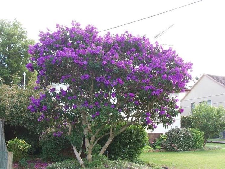Siliquastro piante da giardino coltivazione albero di - Albero da giardino ...