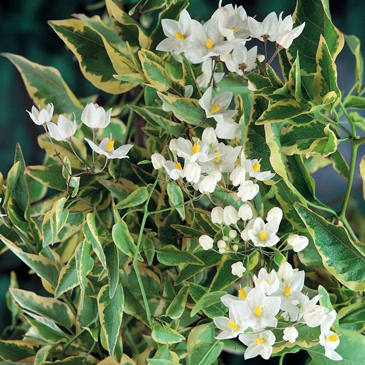 Solanum fiori