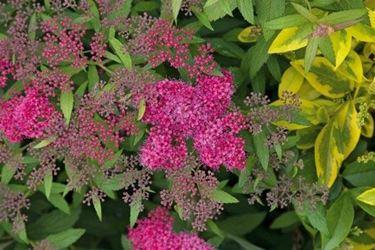 spiraea japonica in fiore