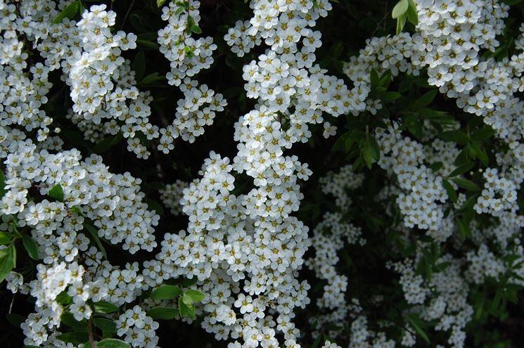I bellissimi fiori della spiraea thunbergii