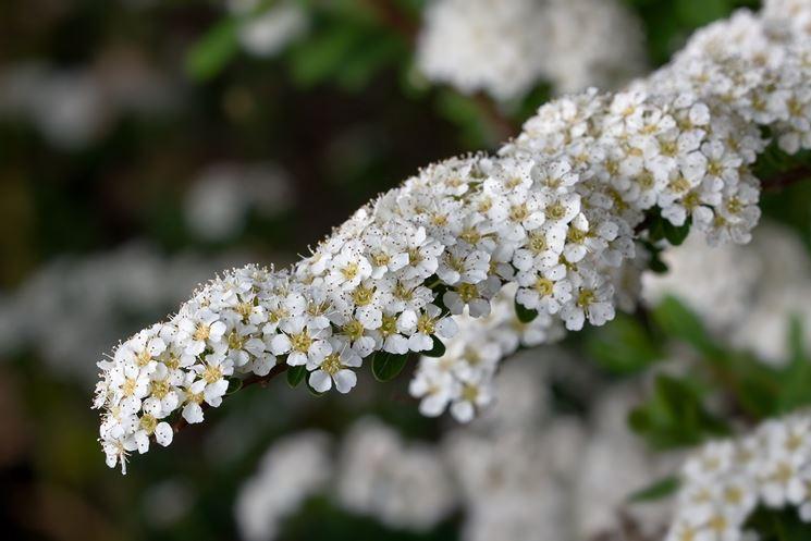 Un ramo fiorito di spiraea