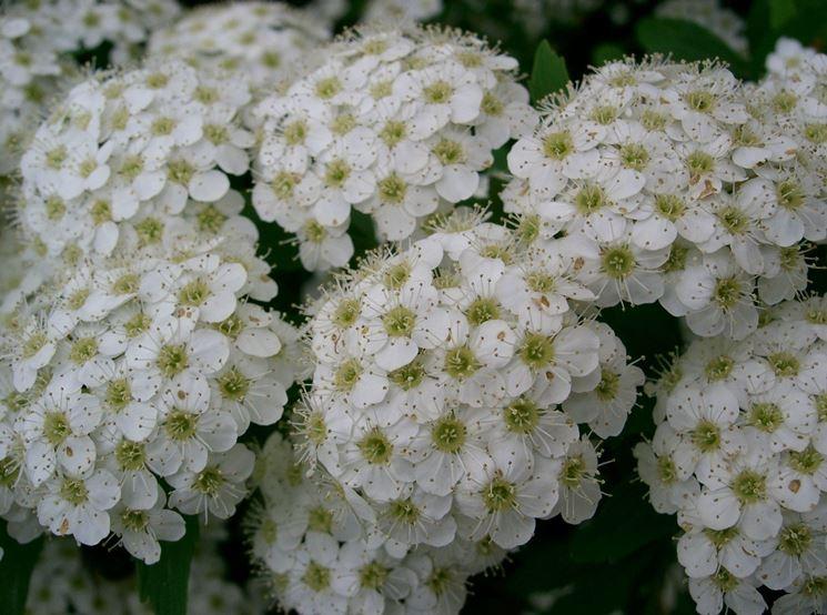 I mazzetti di fiori bianchi di spiraea