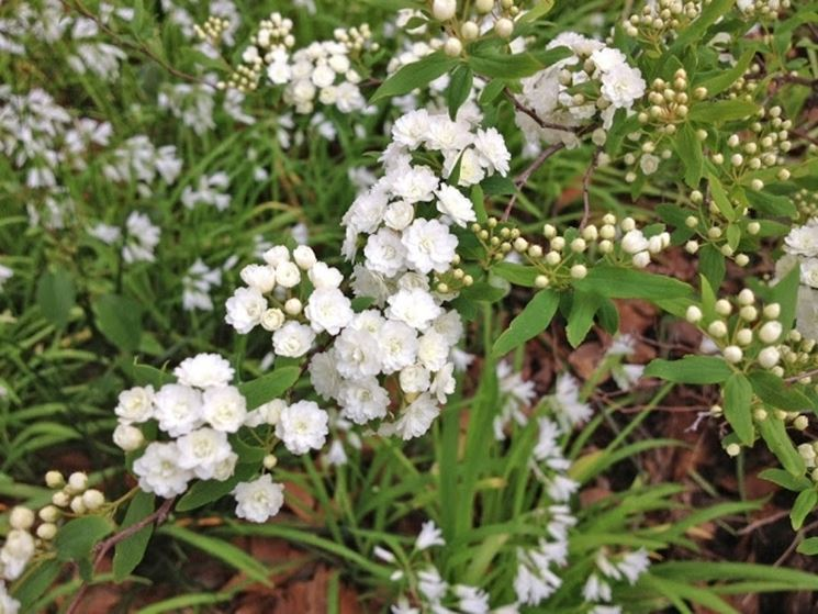 Spirea prunifolia