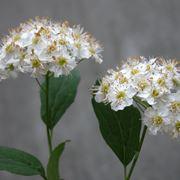 spirea pianta